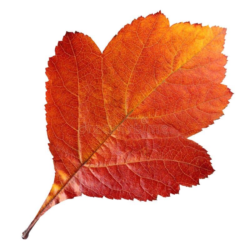 山楂树莓果秋天叶子在白色背景隔绝的 E 免版税库存图片
