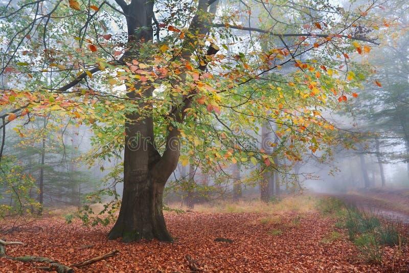 山毛榉五颜六色的树在有薄雾的秋天森林里 库存图片