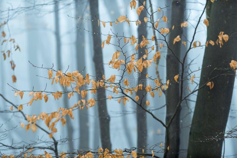山毛榉叶子在冬天森林地 免版税库存照片