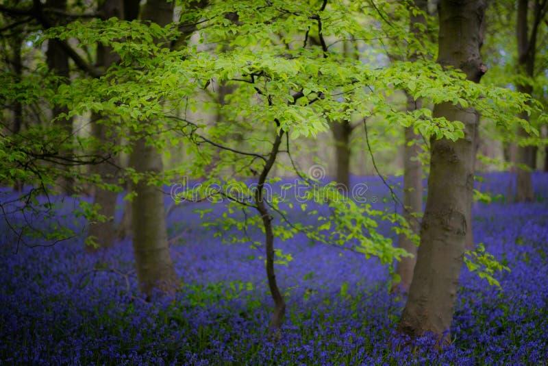 山毛榉和会开蓝色钟形花的草,里普利,北约克郡 图库摄影