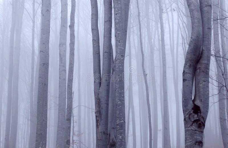 山毛榉惨淡的森林 库存图片