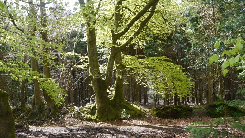 山毛榉树在英国森林地春天 免版税库存照片