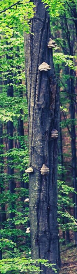 山毛榉树树干与真菌的 免版税库存照片