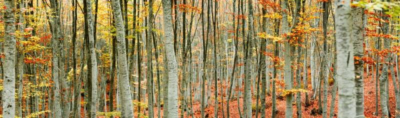 山毛榉树森林全景 图库摄影
