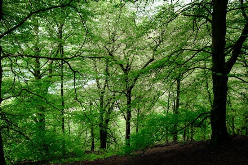 山毛榉树森林地 图库摄影