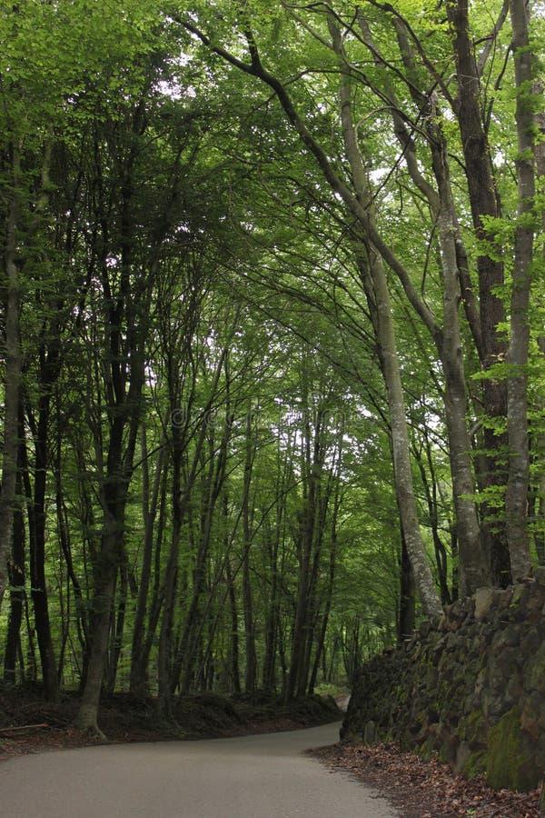 山毛榉森林和路 免版税图库摄影