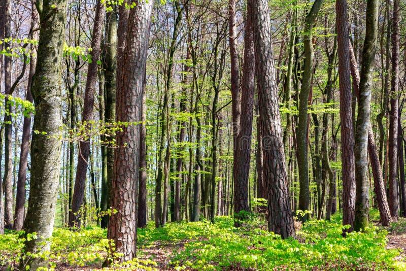 山毛榉森林在春天 库存图片