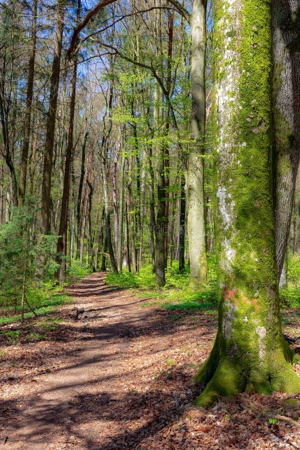 山毛榉森林在春天 免版税库存图片