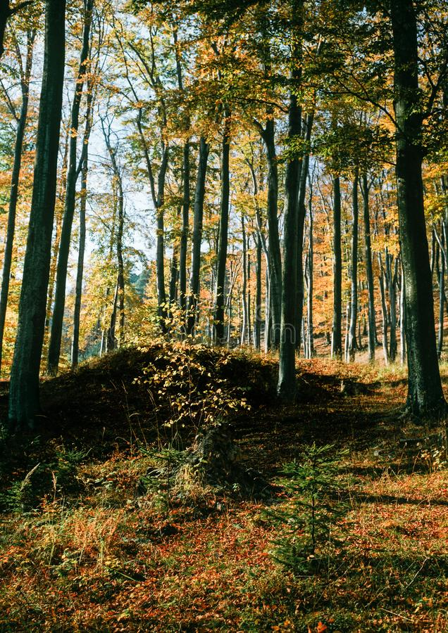 山毛榉森林在秋天 库存图片