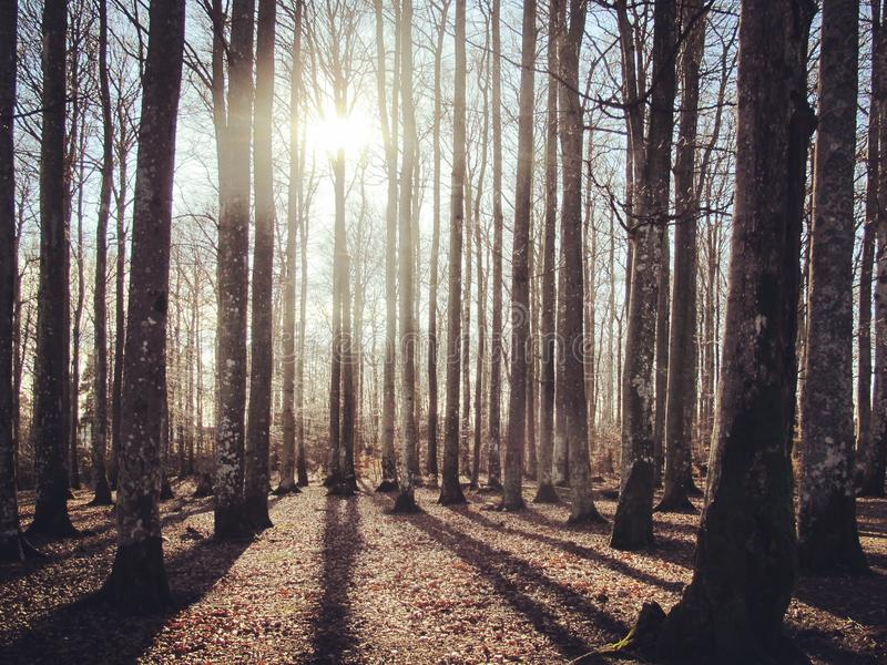 山毛榉森林在阳光下 免版税库存照片