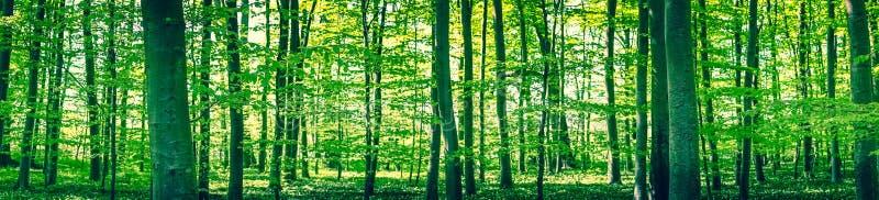 山毛榉森林的全景风景 免版税库存照片