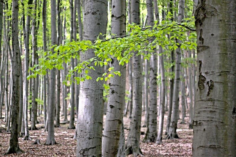 山毛榉森林 库存照片
