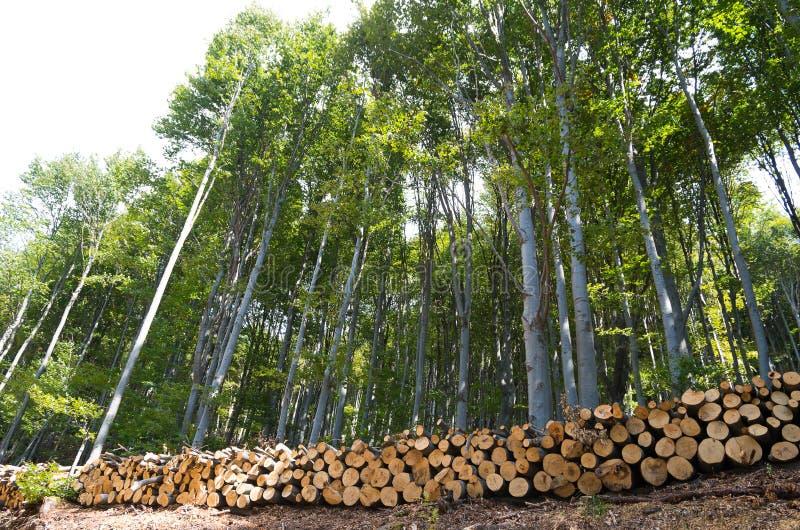 山毛榉的木材木日志在森林里,堆积在堆 库存照片
