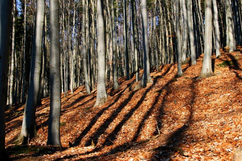 山毛榉的木材 免版税库存照片