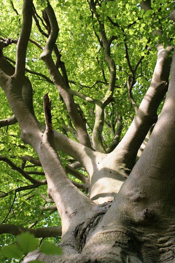 山毛榉离开阳光结构树 库存图片