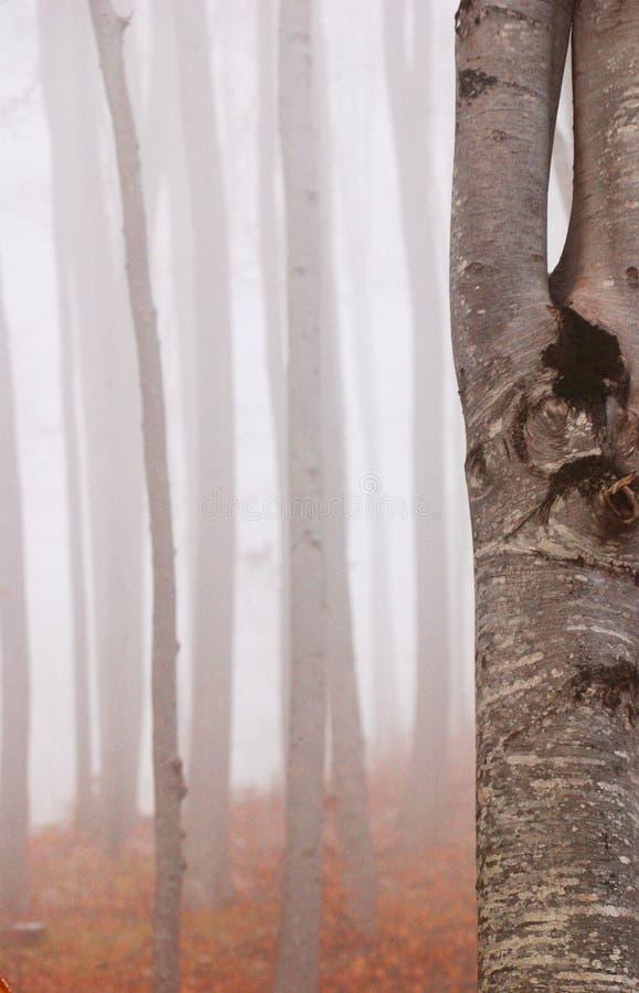 山毛榉雾森林 免版税库存图片