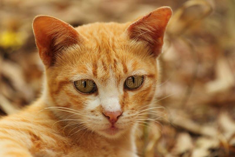山猫 免版税库存图片