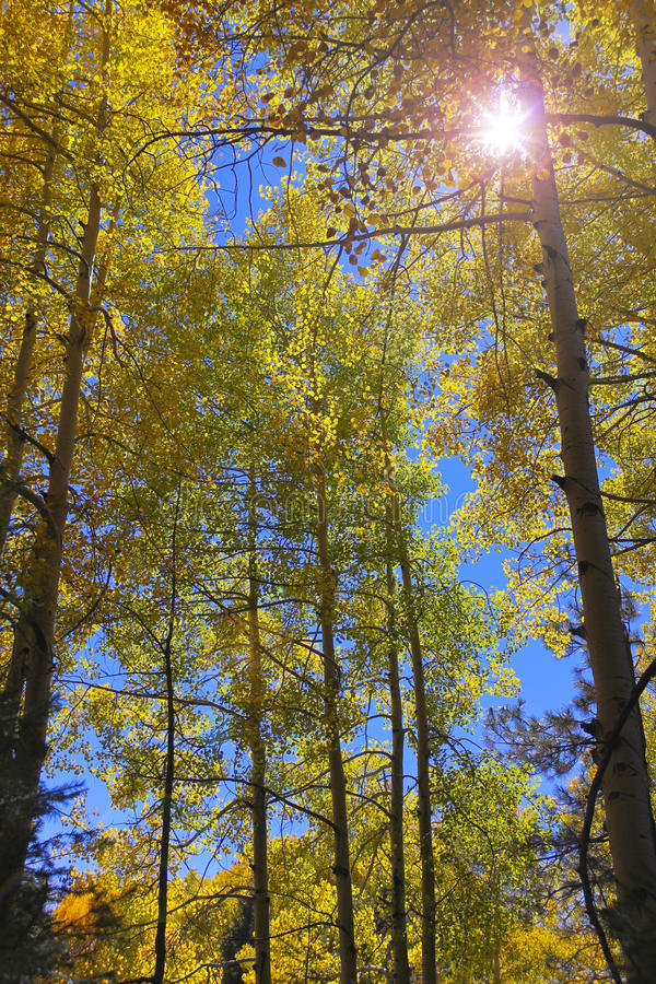 山白杨木立场与透镜火光的 库存图片