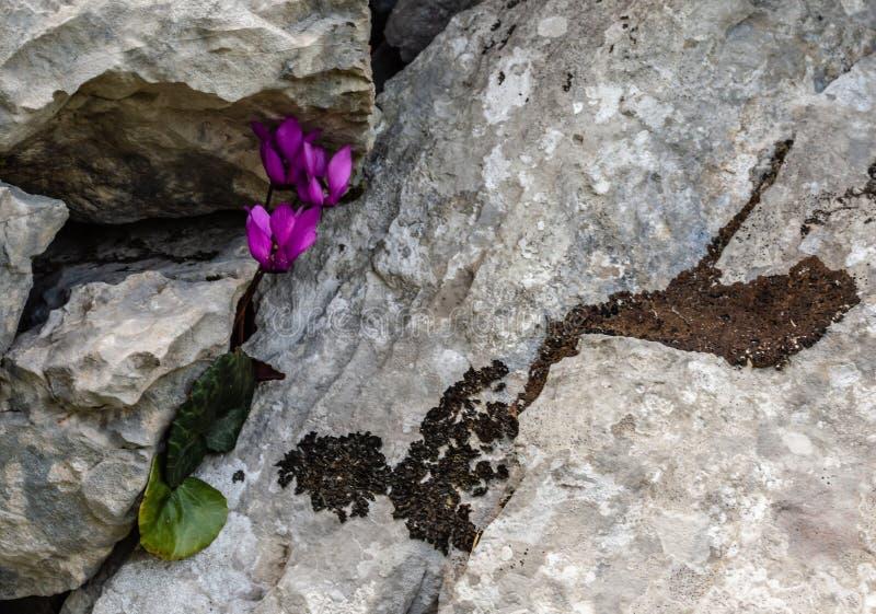 山石中的仙客来花 图库摄影