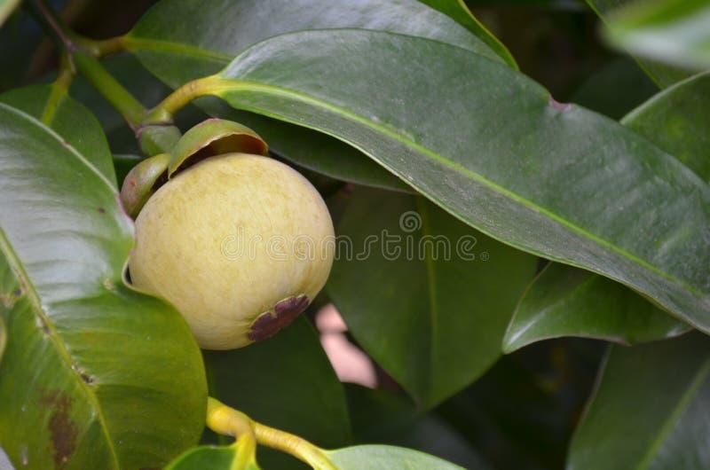山竹果树 库存图片