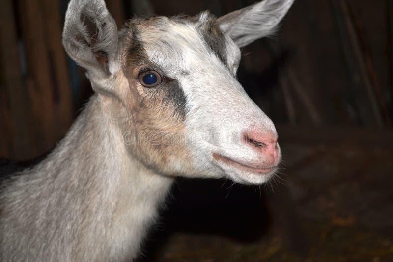 山羊一点 图库摄影