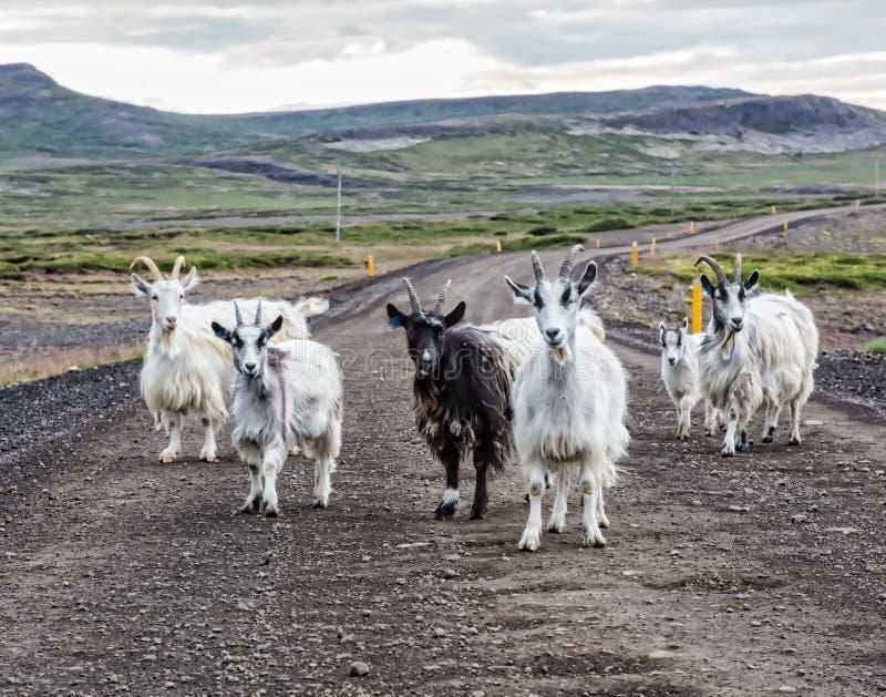 山羊乡下公路冰岛 图库摄影