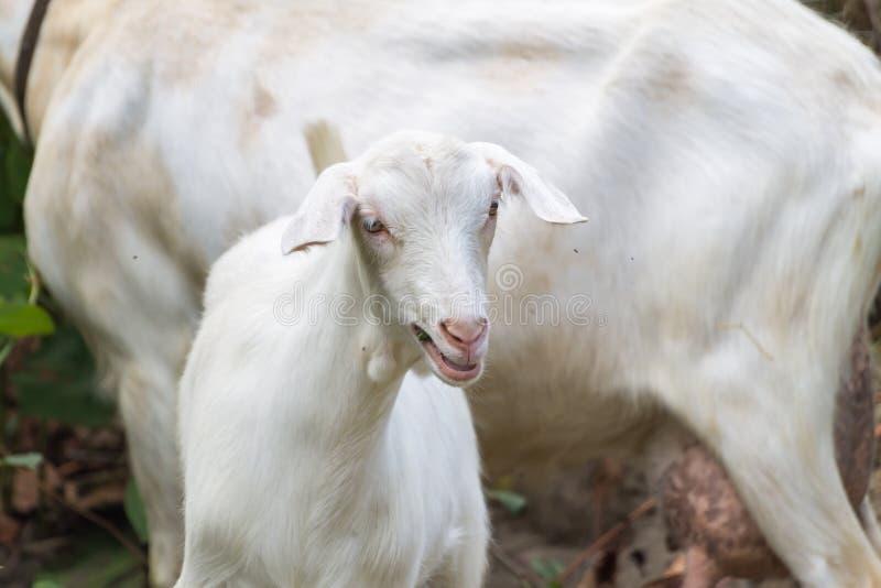 山羊二白色 免版税库存图片