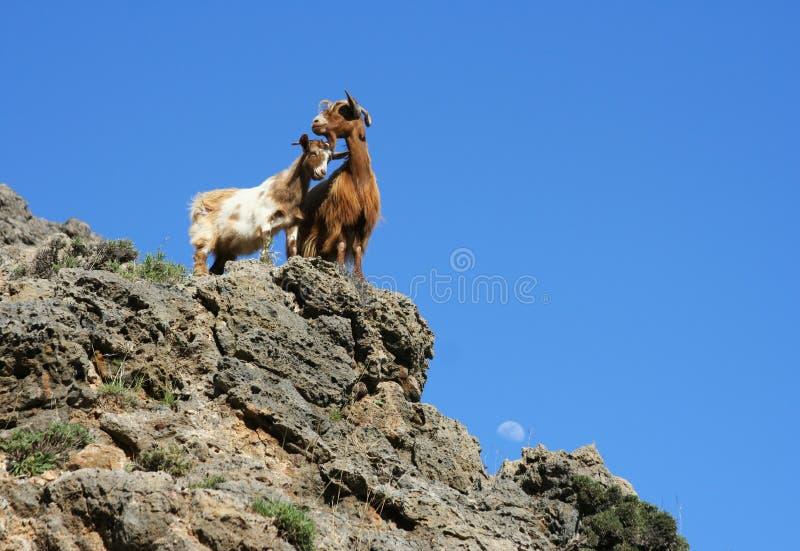 山羊二 库存图片