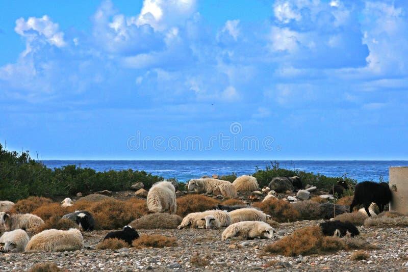 山羊休息 库存照片