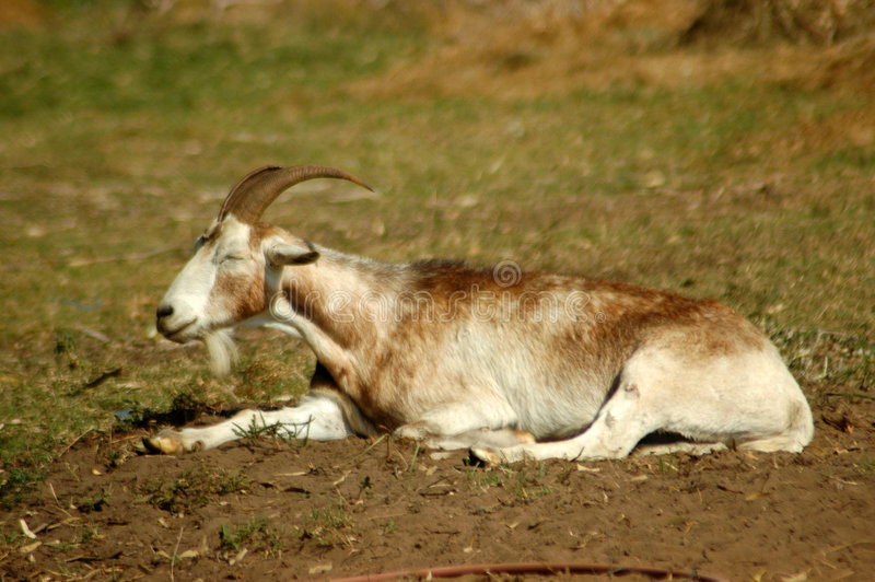 山羊休息 免版税库存图片