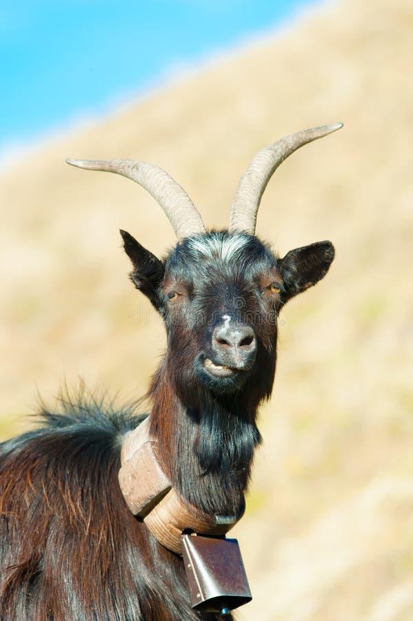 山羊反刍动物 库存图片