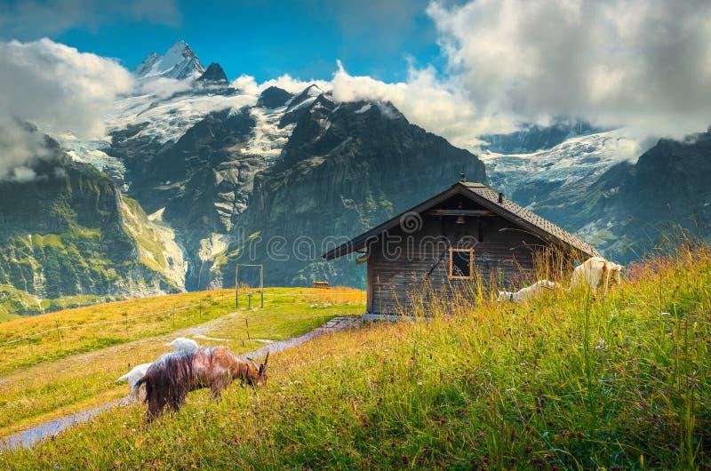 山羊吃草在高山小山的,格林德瓦,瑞士,欧洲 图库摄影