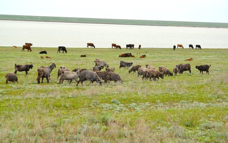 山羊和母牛混杂的牧群在河岸Manych在春天干草原吃草 卡尔梅克共和国 库存照片