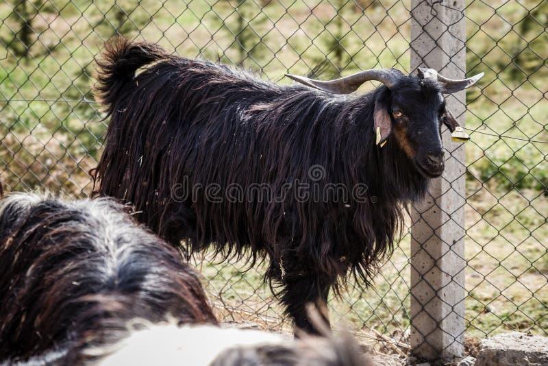 人和绵羊交配_图片 包括有 绵羊, 多沼泽的支流, 问题的, 驯化, 交配动物者, 种田