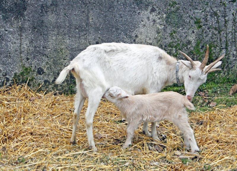 山羊在一个农场的幼儿羊羔在托斯卡纳 库存照片