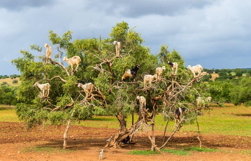 山羊在圆筒芯的灯树-摩洛哥吃草 免版税库存图片