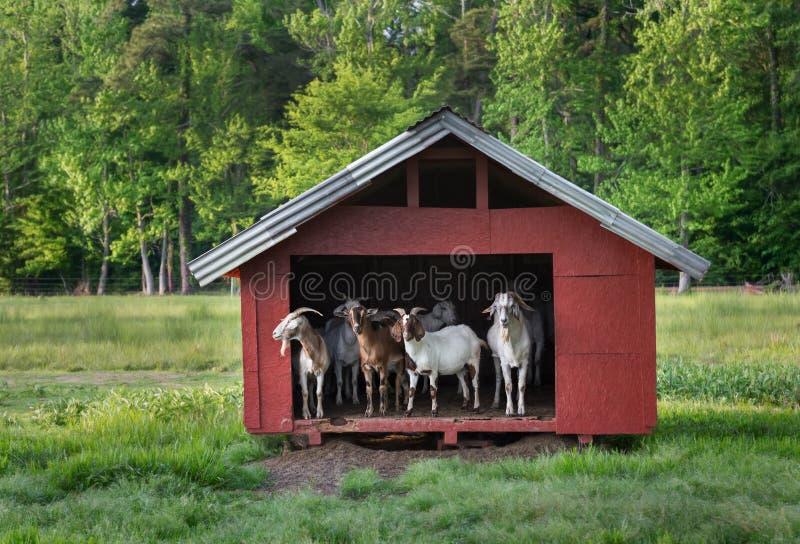 山羊在小红色谷仓 库存照片