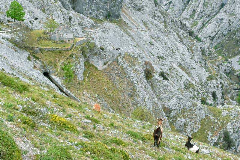 山羊在山风景全景在迁徙路线,阿斯图里亚斯的关心的 库存图片