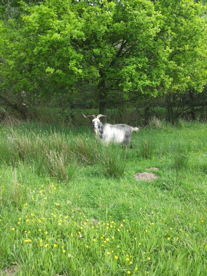 山羊在树下 免版税库存照片