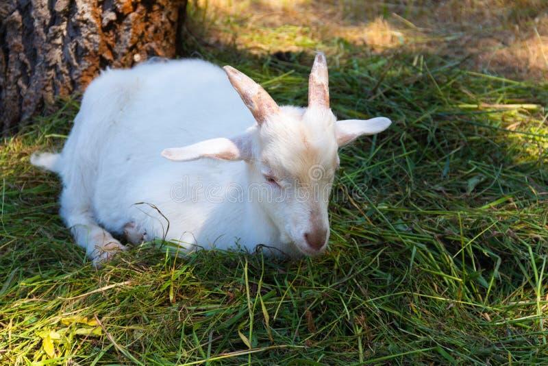山羊在温暖的好日子吃草 图库摄影