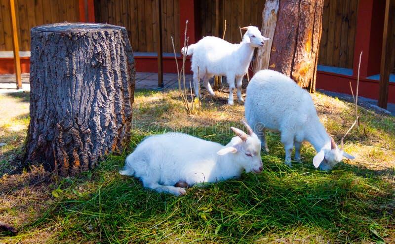 山羊在温暖的好日子吃草 向量例证