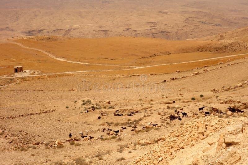 山羊在约旦成群 免版税库存照片