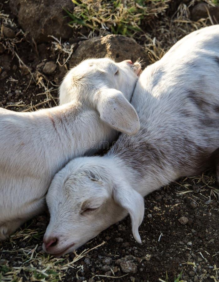 山羊在青尼罗河秋天,Tis-Isat秋天附近的埃塞俄比亚在埃塞俄比亚,非洲 免版税库存照片