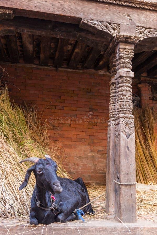 山羊在Bhaktapur 图库摄影