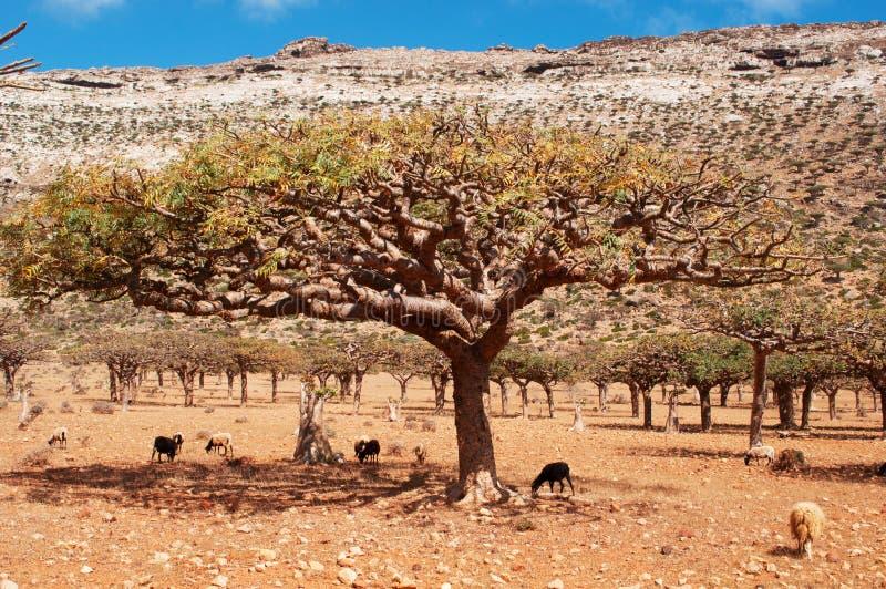 山羊在Homhil高原,索科特拉岛,也门的一棵龙血树下 库存照片