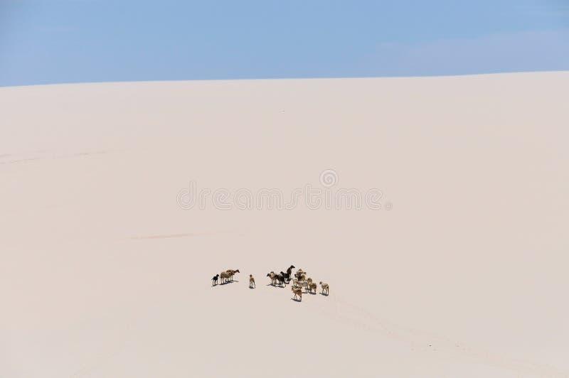 山羊在Lencois Maranheses,巴西 免版税库存图片