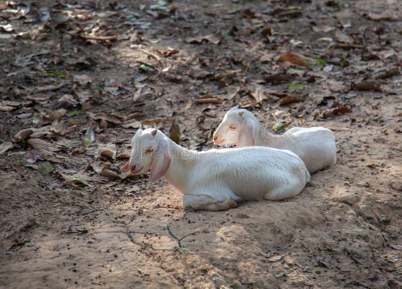 山羊坐了在树下 免版税库存图片