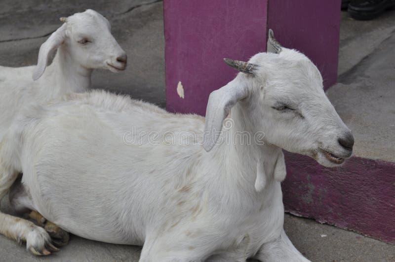 山羊她的孩子 免版税库存照片