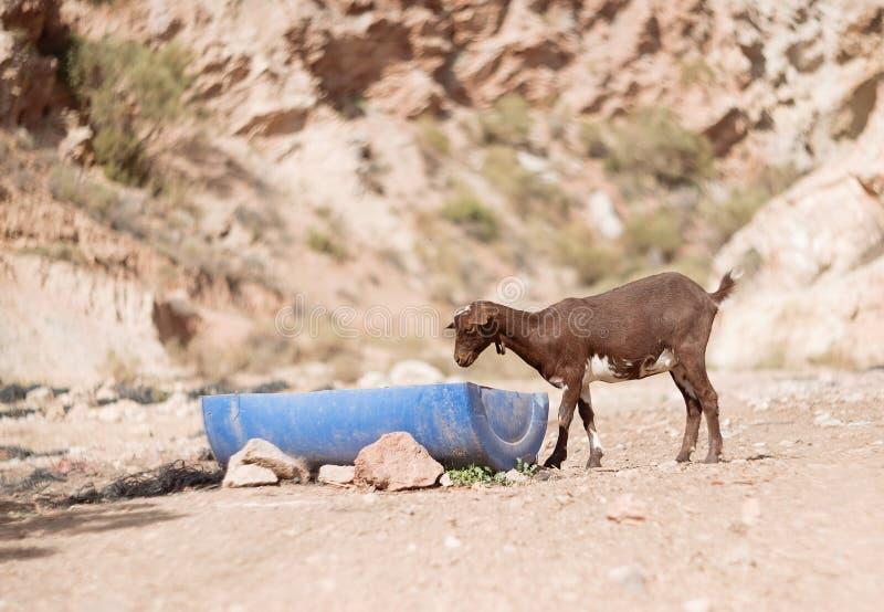 山羊孩子喝一些水 免版税库存照片