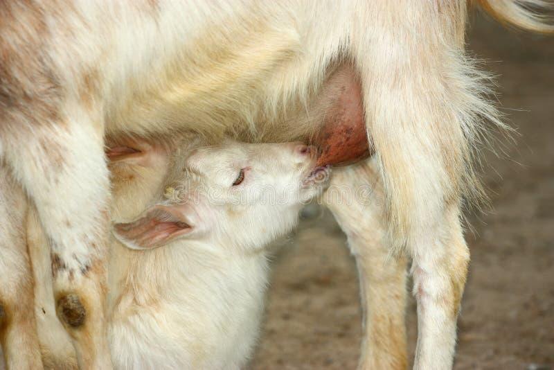 山羊孩子幼儿 免版税图库摄影